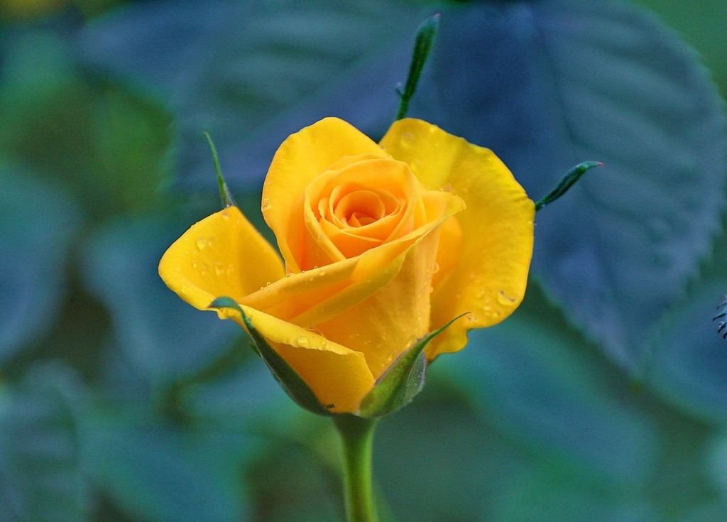 yellow-roses-832786_1280