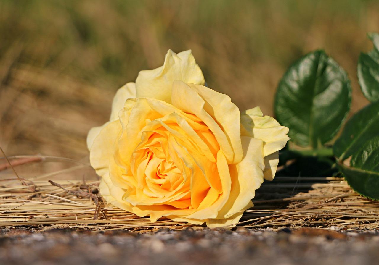 rose-1505332_1280