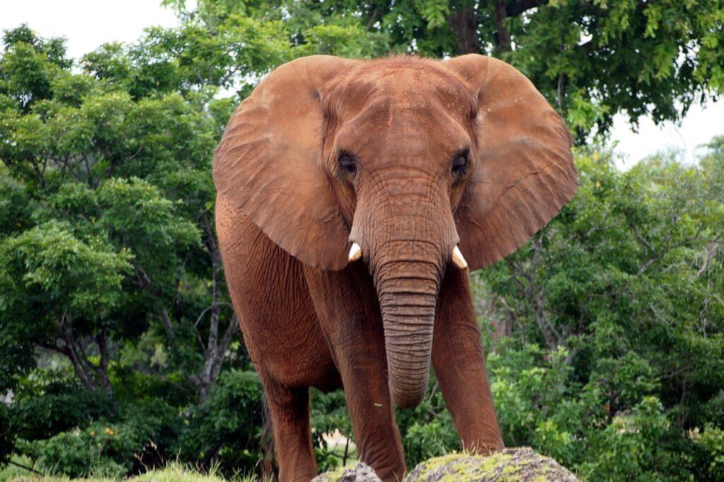 african-bush-elephant-438502_1280